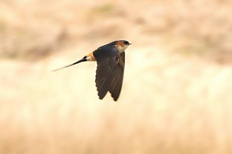 طيور السنونو